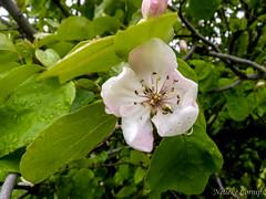 Cydonia oblonga (Nelleke C) Tags: 2016 andalucia andalusia cydoniaoblonga grazalema parquenaturalsierradegrazalema quince spain damp flora holiday kweepeer rosaceae scrub spanje struweel vakantie vochtig