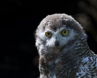 Snowy Owl Fledgling ~ Explored