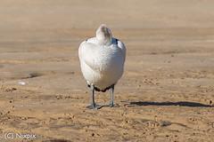 Headless pelican. (nixpix651) Tags: beach centralcoast theentrance pelican bird newsouthwales australia