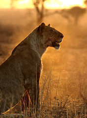 Sun, dust and the beauty (theindiannaturalist) Tags: tanzania serengeti cats feline panthera sunset africansunset wildlifephotography eastafrica africageo lions lioness big5 bigfive natgeo backlight beauty nature