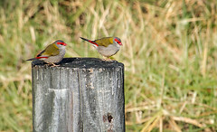 Red-browed Finch 2 (caralan393) Tags: finch redbrowed red post birds tamron