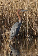 Goliath Heron, Ardea goliath at Marievale Nature Reserve, Gauteng, South Africa (Derek Keats) Tags: ardeagoliath naturereserve ardeidae wetland nature taxonomy:family=ardeidae naturereserves birding goliathheron birds wetlands bird taxonomy:binomial=ardeagoliath