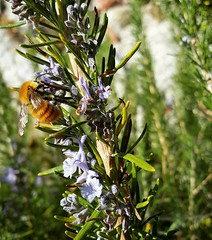 Last #blossoms #bee #biella #valdengo #igersitalia #fall #Autumn #insect #bees #rosemary (! . Angela Lobefaro . !) Tags: instagramapp square squareformat iphoneography uploaded:by=instagram biellese biella valdengo rosmarino