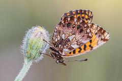 Boloria dia (Prajzner) Tags: macro nikond7100 nature naturallight poland prajzner sigma105mmmacro sigma subcarpathia manfrotto manfrottomt190xpro3 nikon weaversfritillary boloriadia butterfly lepidoptera