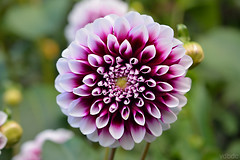 Els amics de les arts - Apunto Shakespeare (vdbdc) Tags: flor flower macro close closeup dof depth field bokeh up profundidad de campo profunditat camp tiefenschärfe tiefen scharfe