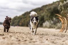 Friends (Atkaaaa) Tags: border collie poodle puppy blue merle sea portrait dogs dog rayko capri bird autumn poland cute brown