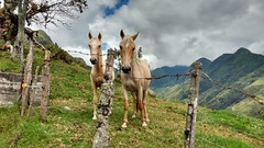 Caballos (AKELARRE186) Tags: horse horses blonde caballos nature mountain mountains montaas naturaleza paisaje landscape beuty green blondes