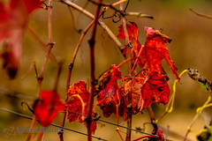 Autumn leaves (Natx33) Tags: autumn red fall colors leaves canon hojas eos leaf vineyard rojo colours wine vine paisaje catalonia colores 7d otoo vermell vi fulla vinya cep faunayflora pmpol