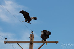 1 of 8 - Bald Eagle chases off another eagle