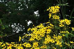 Yellow & Lovely (haidarism (Ahmed Alhaidari)) Tags: flowers plants plant green nature yeloow