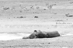 Do not disturb (cocciula) Tags: africa trip bw parco animals fauna lion namibia leone sonno viaggio animali etosha donotdisturb 2014 africanlion savana pantheraleo parconazionale africanmammals etoshanationalpark predatori chepostaccio faunaafricana predatorieprede continentenero parabonzibonzibom