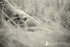 At Rest (LawrieBrailey) Tags: 2 wild white black male silver grey donna nikon bull seal pro nook lawrie efex brailey