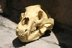 Tiger Skull (shaire productions) Tags: nature animal cat skulls skeleton mammal skull photo natural image teeth tiger picture science bigcat photograph bones horror creature skeletal scientific
