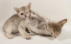 Singapura Kittens 78 (peter_hasselbom) Tags: cats cat fight brawl kitten play flash 28mm kittens onwhite playfight singapura 8weeksold twocats 2cats 2flashes 2kittens