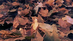 Three Feet High and Rising (Kenneth Wesley Earley) Tags: autumn fall leaves spokane foliage northcentral spokanewa coldsnap 99205 emersongarfield htconem8