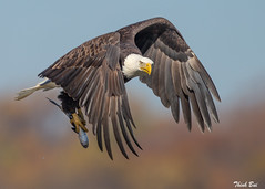 BE@Conowingo Dam (AnhThinh) Tags: eagle wildlife baldeagle conowingodam behuting
