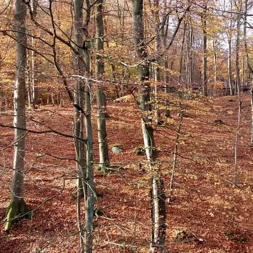 Buchenwald im #Herbst. #autumn #fall