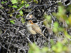 Young White-Crowned Sparrow (Patricia Henschen) Tags: arkansasriver whitecrownedsparrow canoncitycolorado riverwalk bird birds usroute50
