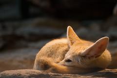 Fennec (Cloudtail the Snow Leopard) Tags: zoo wilhelma stuttgart tier animal mammal säugetier fennek fennec fuchs fox wüstenfuchs cloudtailthesnowleopard