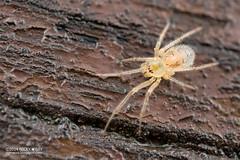 Comb-footed spider (Dipoena sp.) - DSC_7290 (nickybay) Tags: macro spider malaysia johor kukup theridiidae combfooted dipoena kukupnationalpark