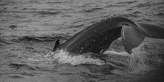 Whale Watching 9 (marek O) Tags: life sea wild nature animals iceland watching whale