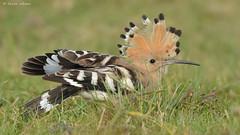 Hoopoe (KHR Images) Tags: wild bird nature nikon wildlife bedfordshire crest upupaepops hoopoe raised migrant willington d7100 8004000mmf4556 kevinrobson khrimages