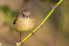 Ruby-crowned Kinglet with Attitude (Mick Thompson1) Tags: