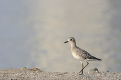 Pluvialis sp (Henri Quatre) Tags: bird 1d saudi arabia f56 plover 400mm pluvialis pluvier 1diii