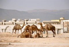 A Camel Convention (The Spirit of the World) Tags: animals group middleeast oman camels beastofburden dhofar arabianpeninsula ruraloman rememberthatmomentlevel1 groupofcamels rememberthatmomentlevel2 rememberthatmomentlevel3 countrysideofoman