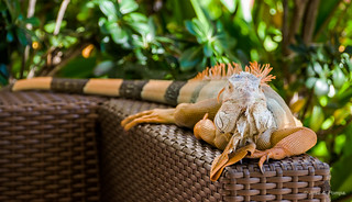 Iguana-Cancun_14-11-17_05