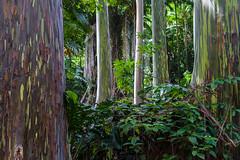 Gum trees_Maui (S. Peterson) Tags: hawaii maui gumtrees stevepeterson