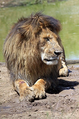 Last Meal - A very injured male lion in the Maasai Mara, Kenya. (estenard) Tags: kenya lion injury maasaimara
