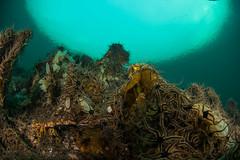 Brittlestars invasion! This is common for this divesight at this time of year! (eikebass) Tags: norway current drift brittlestar driftdive fosnstraumen nordhordlanddykkerklubb