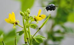 flying bee ([s e l v i n]) Tags: flowers india flower bird nature birds fly bee bombay mumbai flyin birdphotography flyingbee bhandup bhanduppumpingstation bhanduppumpstation ©selvin