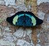 Panacea prola, Madre de Dios, Peru (hogsas) Tags: peru butterfly butterflies madrededios frameit peruvianimages ecoamazonialodge panaceaprola