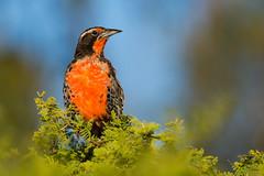 Loica (mths_jcb_dnnr) Tags: chile birds aves loica sturnella loyca