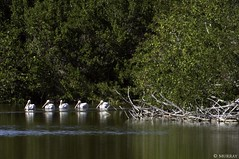 White Storks Swimming in a Line - Everglades (murrayi) Tags: birds everglades whitestorks