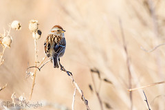 _MG_4484.jpg (pknight45) Tags: birds places americantreesparrow bakerwetlands