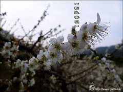 P1220840 (5a) Tags: taiwan taichung plumflower  taiwantrip