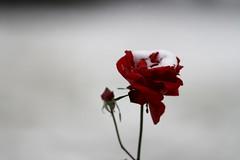 La rose de Tito (georgesubeogradu) Tags: snow fleur rose serbia retro musee 70s tito neige belgrade beograd stari srbija houseofflowers serbie mausolee kuca beograde muzej yougoslavie cveca