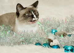 122614-Twinkie-Christmas-4 (CarmenSisson) Tags: christmas usa pet animal cat kitten feline holidays seasons seasonal alabama siamese garland ornaments twinkie happyholidays merrychristmas coden seasonsgreetings