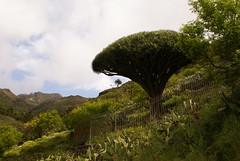 La Gomera Walk March 2010 (stiffado) Tags: tree rock palms terraces agave mosses heaths