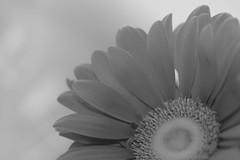 Twister Sister (PamBoling) Tags: blackandwhite bw stilllife flower macro floral monochrome daisy softfocus stills shadesofgray