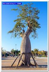 Tree Baoba with supports (Adansonia digitata) (Jose Angel Astor) Tags: africa park travel blue light sunset sky tree nature beautiful sunrise landscape big flora natural african large safari national tropical vegetation trunk madagascar baobab adansonia anaturalezaarboles