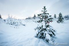 Season greetings (_Robbi) Tags: christmas white snow cold tree iceland woods holidays alone different christmastree ornaments heimrk januar robbi