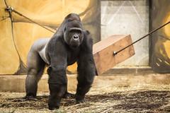 2015-01-04-10h41m39.BL7R9704 (A.J. Haverkamp) Tags: zoo gorilla thenetherlands rhenen dierentuin ouwehandsdierenparkrhenen bitono canonef70200mmf28lisusmlens httpwwwouwehandnl dob28032001