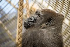 2015-01-17-12h29m35.BL7R0573 (A.J. Haverkamp) Tags: zoo rotterdam blijdorp gorilla dierentuin diergaardeblijdorp tamani westelijkelaaglandgorilla httpwwwdiergaardeblijdorpnl canonef100400mmf4556lisusmlens pobapeldoornthenetherlands dob13031993