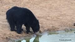 Sri Lankan Sloth Bear - Wildlife, Sri Lanka! (Dunstan Fernando) Tags: nature nikon wildlife yala dunstan slothbear d7000 srilankanbear