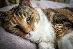 Beautiful Pet Story Kitty (pillarsoflight) Tags: brown white black green beauty oregon cat portland store eyes nikon purple sleep kitty adobe rest pdx 1855 pnw petstore lightroom d3300