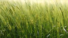 Green grain (patrick_milan) Tags: green brittany country grain bretagne vert britanny rue campagne finistre bl orge avoine crales plouguin